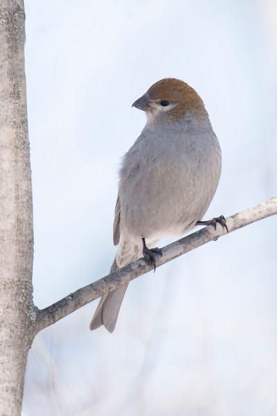 It's getting kind of late in the season to see Pine Grosbeaks, but we did find a couple of females like this one.  Pine Grosbeaks are slightly smaller than Robins.  We did not see any male Pine Grosbeaks.