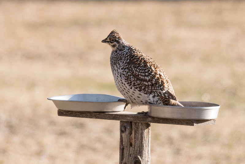 The grouse were feeding on the ground under the homeowner's bird feeders.  That was unusual enough but then one of the grouse actually flew up into the feeder.