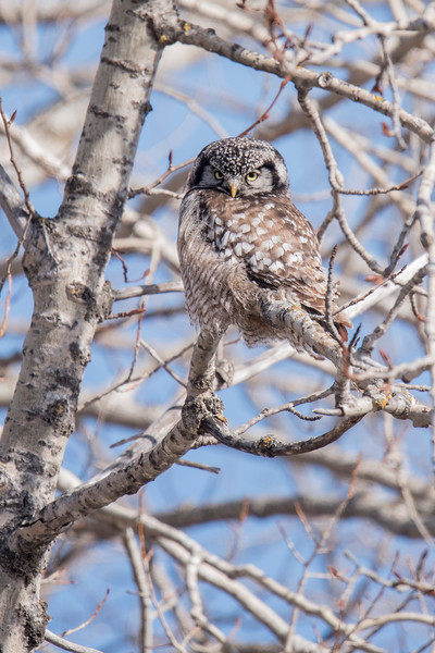 When the owl flew across the road and landed in a different tree, it was so well camouflaged that I had a hard time spotting it.