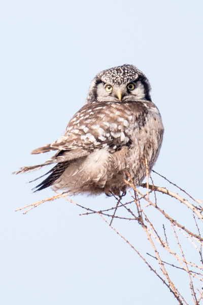 Sparky knew just where to take us to see this Northern Hawk Owl, one of the highlights of the trip.