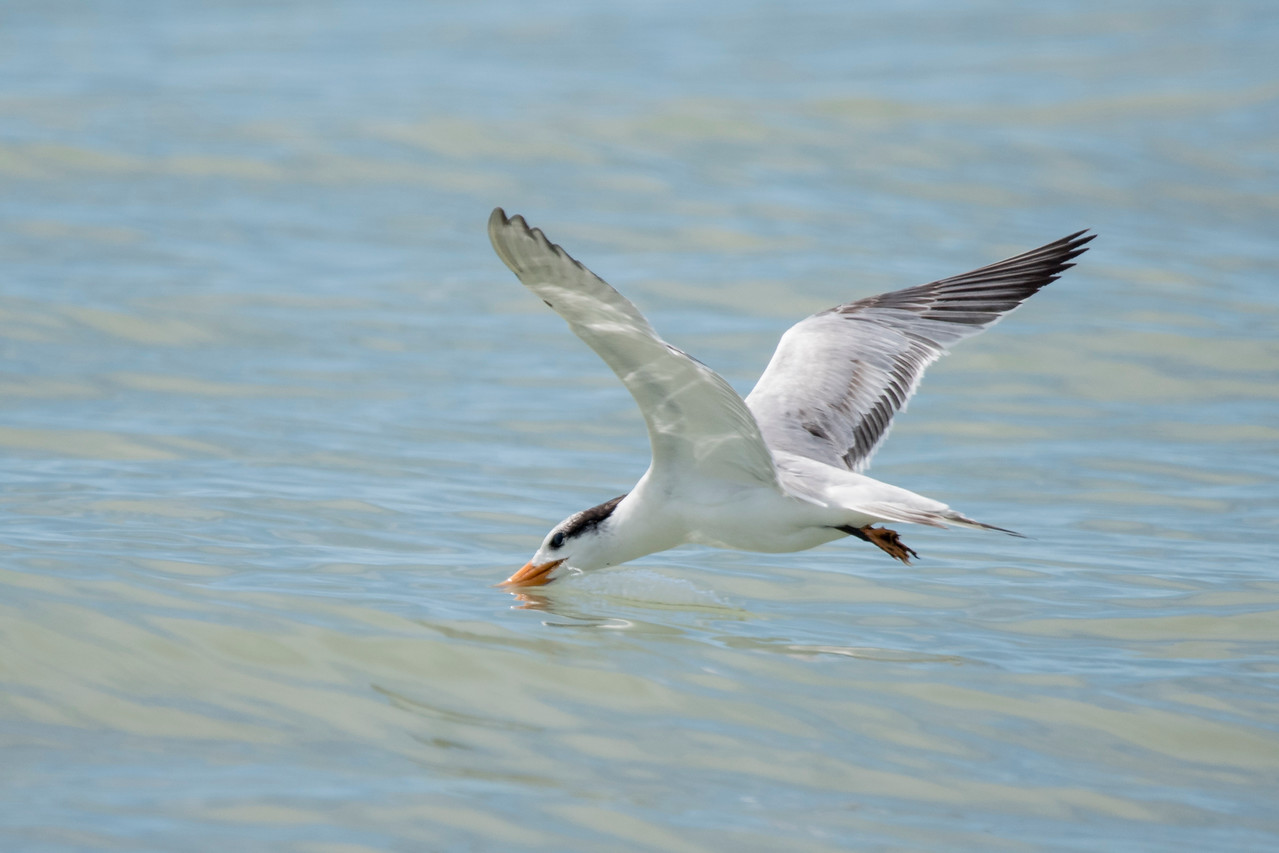 As this tern flew by, it spotted something in the water and dipped down to grab it.