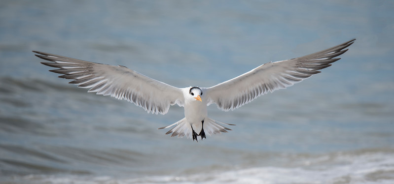Sometimes I was lucky enough to get them with their wings fully stretched out.  The wingspan of a Royal Tern is 41 inches.