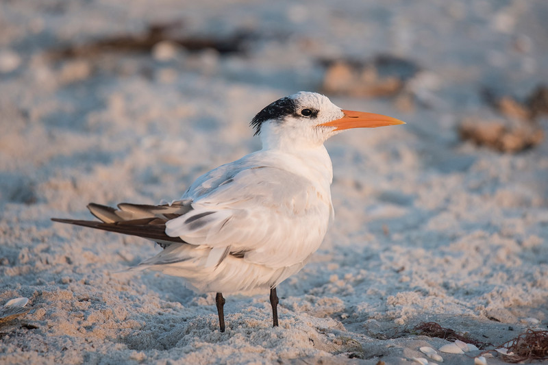 Royal Terns were a common sight on the beach at Sanibel Island during our visit in January.  At a length of 20 inches, they are the second largest tern species in the United States.  We saw them in non-breeding plumage.  During the breeding season, the whole top of the head, from the eye up, will be black.  This photo was taken at sunset, resulting in a pink tinge to the sand.