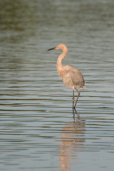 During our January trip to Sanibel Island, Florida, I photographed several Reddish Egrets along the wildlife drive at Ding Darling NWR.  The early morning light gives a pinkish tint to the bird in this photo.