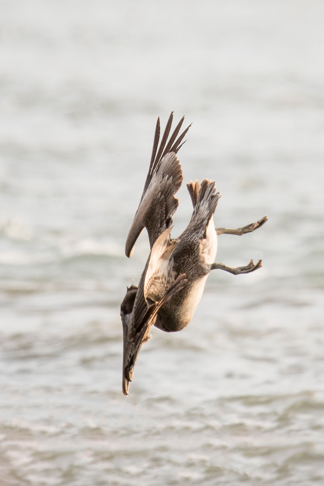 The wings get pulled back even further as it approaches the water.