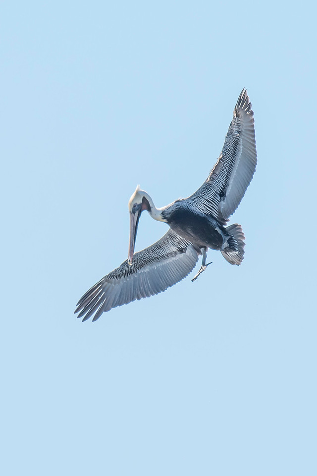When a pelican spots a fish below, it pulls up and prepares to dive