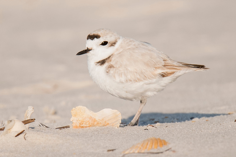 Here's another unbanded Snowy Plover.