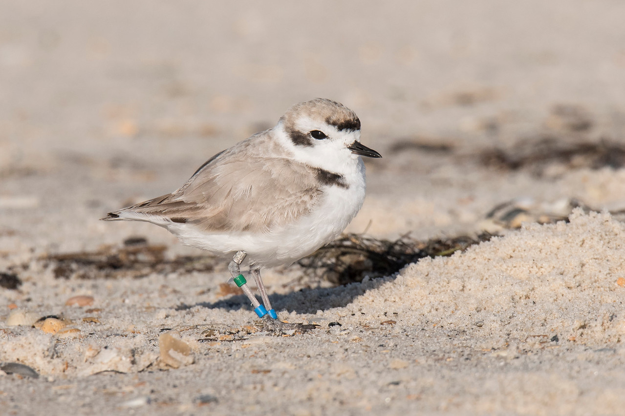 All the previous birds were seen on February 7, 2017, at St. George Island State Park.  On February 23, two days before we were leaving Florida, I saw several more Snowy Plovers.  They were on the west end of the island, not in the park.  Because it was later in the year, these birds were starting to get their breeding plumage.  Notice this bird is darker brown than the birds in the previous photos.  It also has darker black spots.