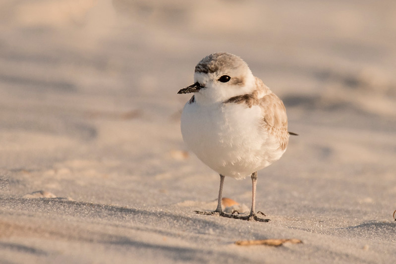 I saw several Snowy Plovers on St. George Island.   They are considered a threatened species.  This one hasn't been banded yet.
