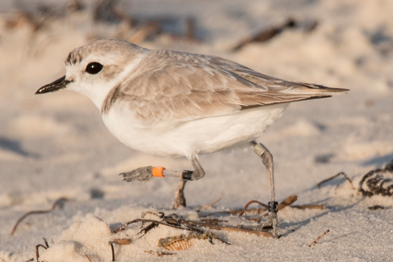 Here's another Snowy Plover with an aluminum band plus two black bands and an orange one.  Maybe it was banded on Halloween (just kidding.)