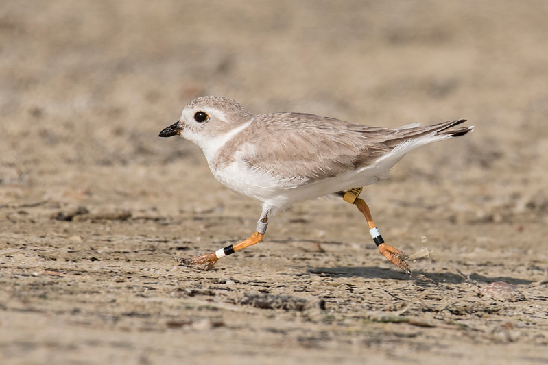 During January and February of this year, Diana and I stayed on St. George Island, Florida.  The island's beaches are the winter home for both Piping Plovers and Snowy Plovers.  This is a Piping Plover, considered to be an endangered species.  Because of their critical status, researchers tag these birds to keep track of them.  Notice the three bands on this bird's left leg and the two bands and a yellow flag on the right leg.  This is the only Piping Plover I saw during our stay on the island.