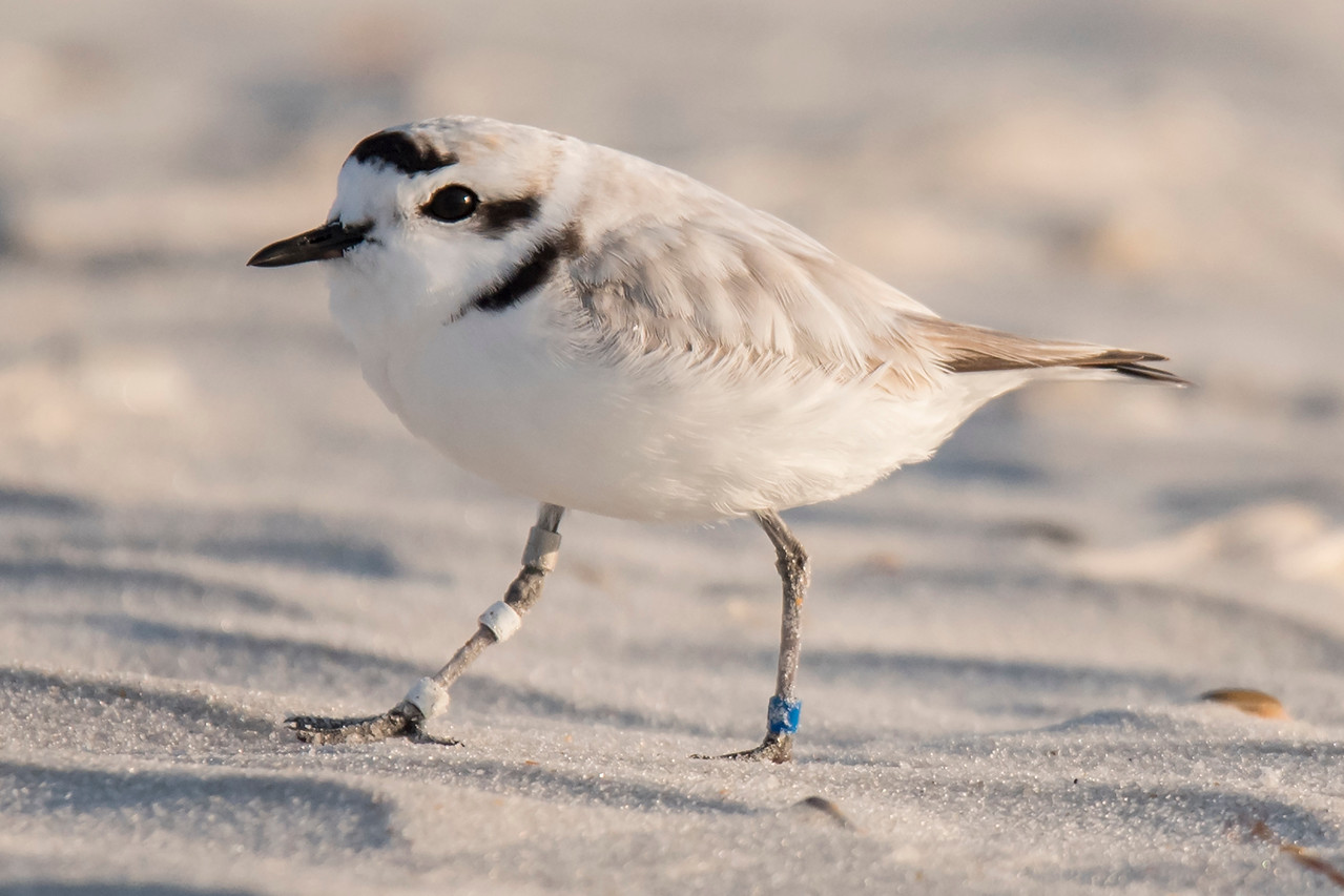 This Snowy Plover has three bands on its right leg and one blue band on its left leg.  Each pattern of bands is meaningful and tells a researcher some information about that particular bird.
