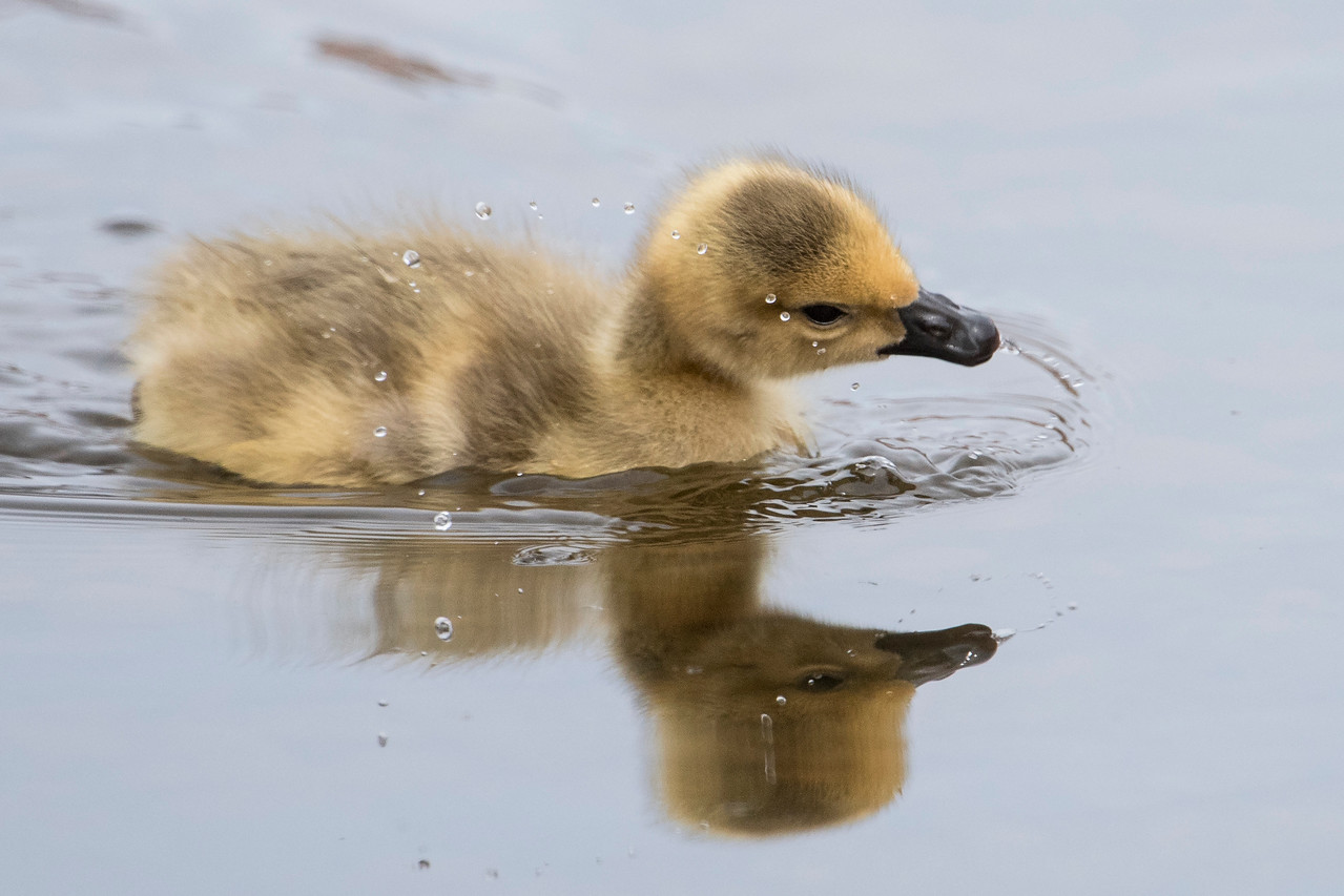 This gosling swiped its bill across the water and left an interesting trail of water droplets in the air.