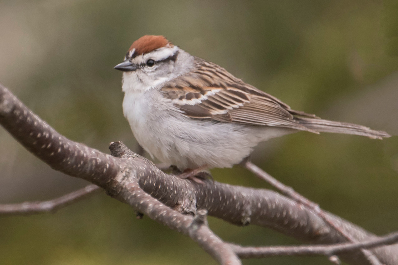 I photographed this Chipping Sparrow on Lax Lake Road near Tettegouche State Park.