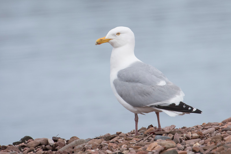 You can always find Herring Gulls at the Grand Marais harbor in summer.