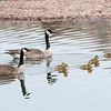 At the Grand Marais harbor, these Canada Geese were being very protective of their newly hatched goslings.
