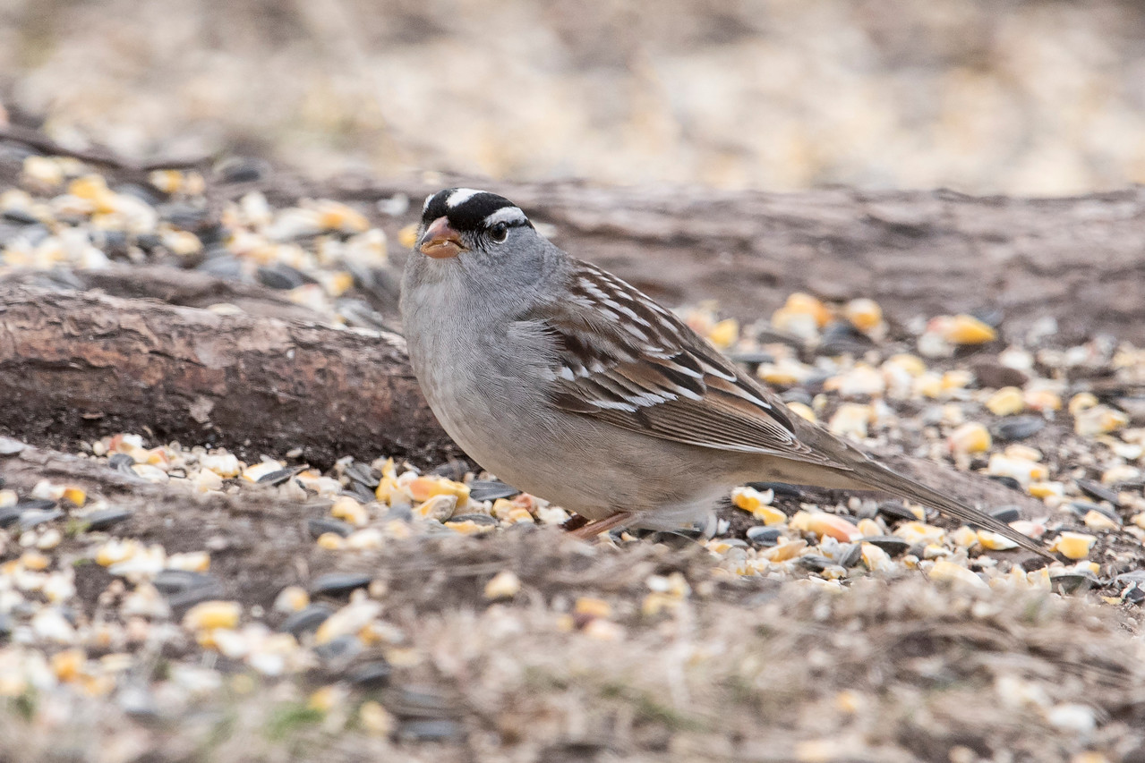 One White-crowned Sparrow showed up on my last visit.