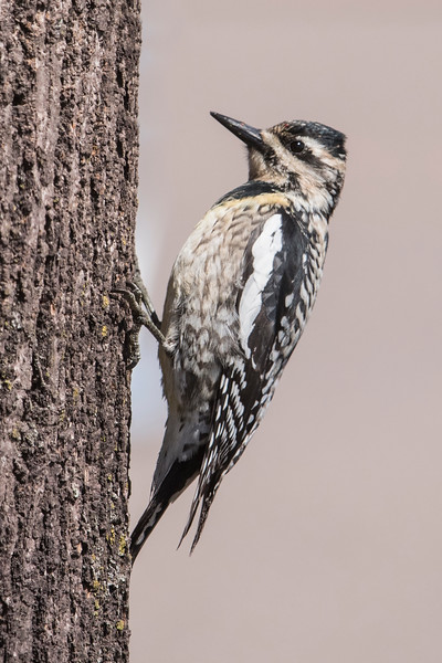 This juvenile Yellow-bellied Sapsucker also joined the crowd.