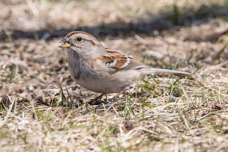 Someone in Two Harbors is a bird lover because I saw him spreading seed under a tree right in the downtown area.  This attracts lots of birds including many different kinds of sparrows.  This is an American Tree Sparrow.  Notice the bi-colored bill (black on the upper, yellow on the lower), and the dark spot on its chest.