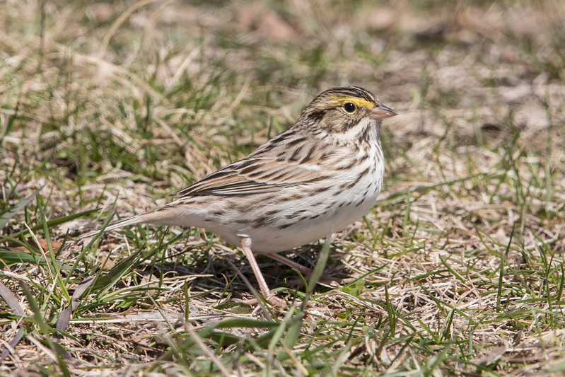 I saw several Savannah Sparrows.  The yellow eyebrow stripe is diagnostic for this species.