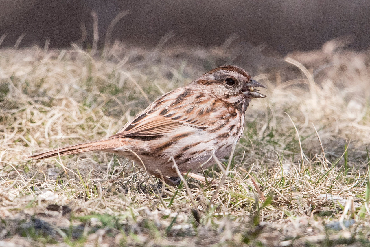 This is a Song Sparrow.