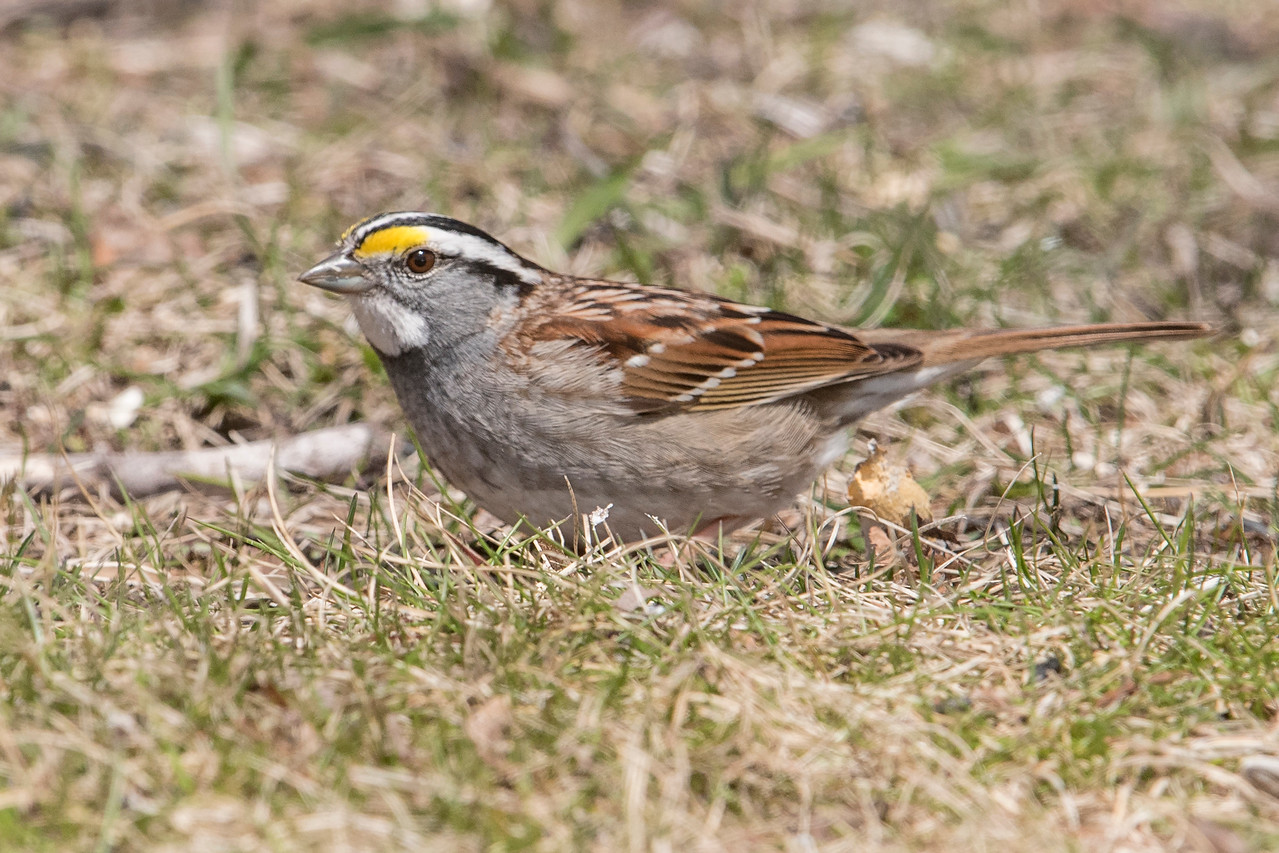 I think the White-throated Sparrow is one of our prettiest sparrows.  Several of them stopped by to eat.