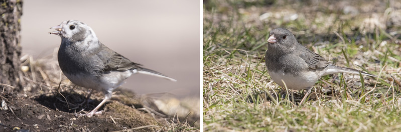 A bonus sighting was this leucistic Dark-eyed Junco on the left.  A normal plumaged junco is on the right for comparison.  Leucistic means that the bird has some white feathers where it would normally have dark feathers.