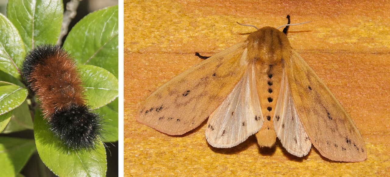 Here are some more photos from our recent trip to Bandon, Oregon.  On the left is a Woolly Bear caterpillar, found at the house we were renting. When a Woolly Bear becomes a moth, it is called an Isabella Tiger Moth. This caterpillar and its moth are also found here in Minnesota.  On the right is an Isabella Tiger Moth photo taken at our lake home in Minnesota.