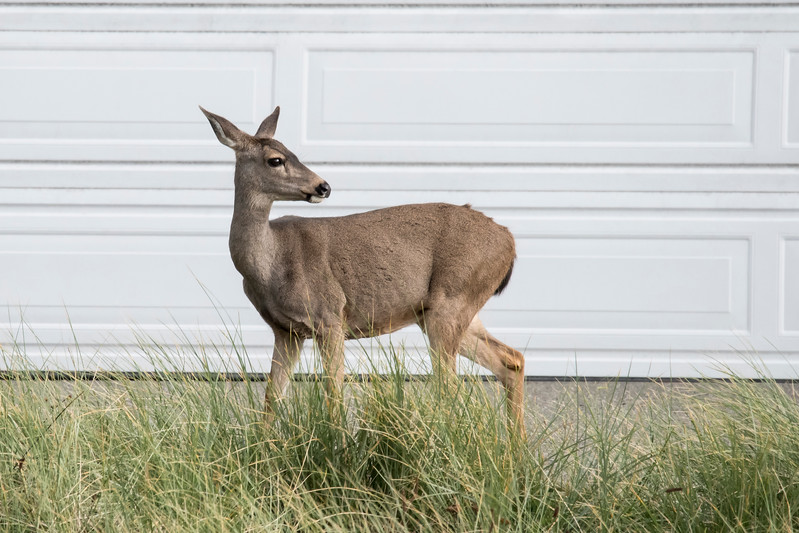 In Minnesota, we are used to seeing White-tailed Deer, even on lawns in urban areas.  One morning in Bandon, I walked out of the house we were renting and saw this deer in the driveway of a house across the street.  However, it's not a White-tailed Deer, it's a Black-tailed Deer, which is a subspecies of Mule Deer.