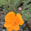 I saw these small, bright orange flowers growing in many places while we were in Bandon.  Not knowing what they were, I put a photo on my Facebook page and asked for help identifying them.  Tom Nelson, one of my nephews, lives in California and told me they were California Poppies.