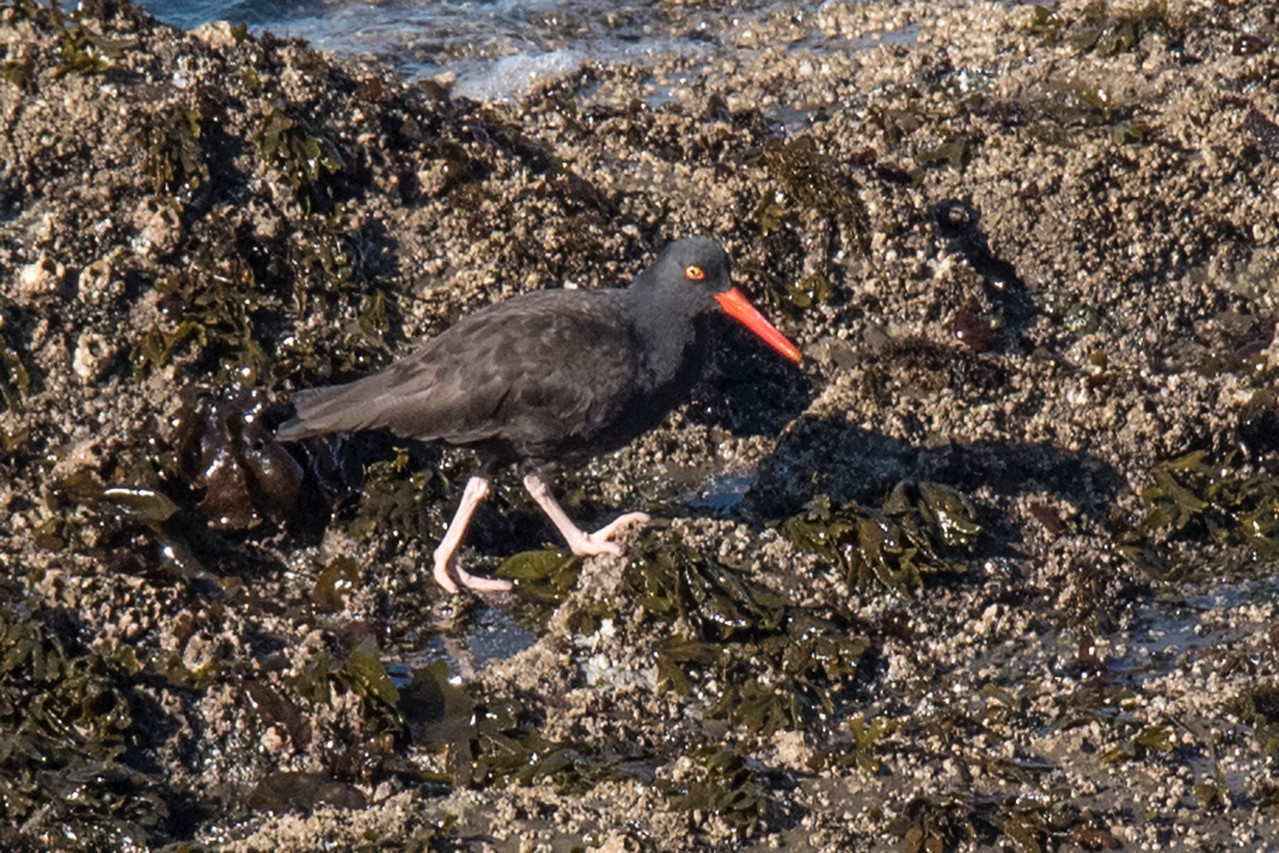 During our October trip to Oregon, I was able to photograph some western birds that we either don't see in Minnesota or only see as rare visitors.  This is a Black Oystercatcher.  In North America, it is found only along the Pacific coast, from Alaska to Mexico.  Its all-black plumage blends in very well with the dark rocks found along the coast.  However, the bright orange bill and pink legs give it away.  This photo was taken at the Simpson Reef Overlook.