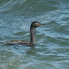 In Minnesota, the only cormorant species we are likely to see is the Double-crested Cormorant.  In Oregon, most of the cormorants that I saw were Pelagic Cormorants.  This one was photographed near the lighthouse in Bandon, Oregon.  Pelagic Cormorants have nearly the same range as the Black Oystercatcher (above).  At 28 inches, the Pelagic Cormorant is smaller than the Double-crested Cormorant (33 inches).