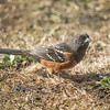 Spotted Towhees are found over much of the western United States.  They do tend to wander, however, and each year a few of them are reported here in Minnesota.  The spots that give the bird its name are obvious and I'm intrigued by that bright red eye.  This photo was taken at the house we rented in Bandon.