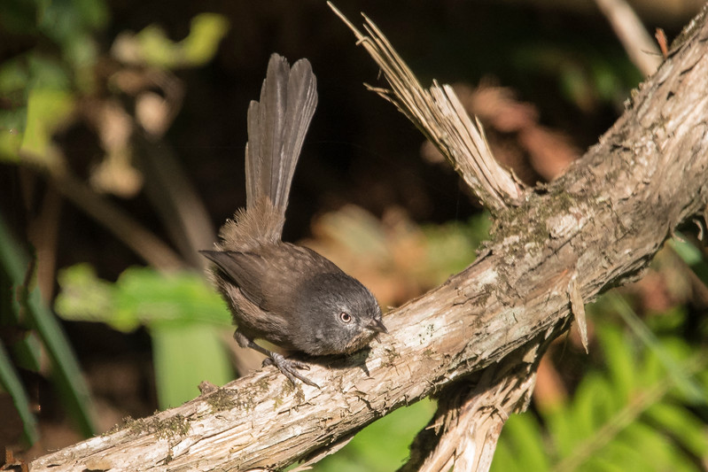 This bird is called a Wrentit because it has characteristics found in both wrens and titmice.  For instance, it often perches like this with its long tail held high, just as wrens do.  It's not related to either wrens or titmice, however, and the American Ornithologists' Union puts it in its own family.  The Wrentit is found along the West Coast from the Columbia River on the north to the deserts of Baja California on the south.  Its inland range stops at the western mountains.  This photo was taken at the Simpson Reef Overlook.