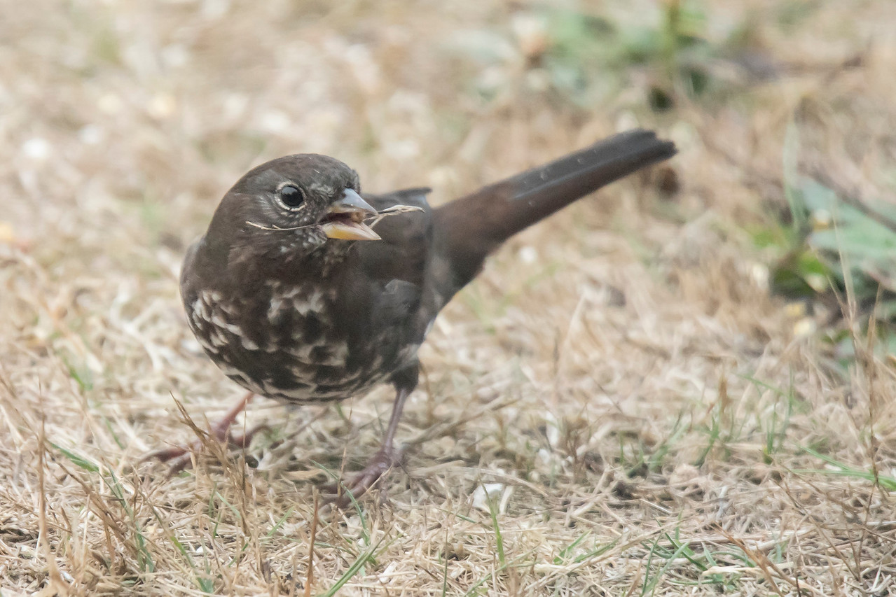 This Fox Sparrow was a visitor to the house we rented.  We do get Fox Sparrows in Minnesota, but they look quite different than this one.  There are four recognized subspecies and this one is called the Sooty subspecies.  It's much darker than the Red subspecies that we see.