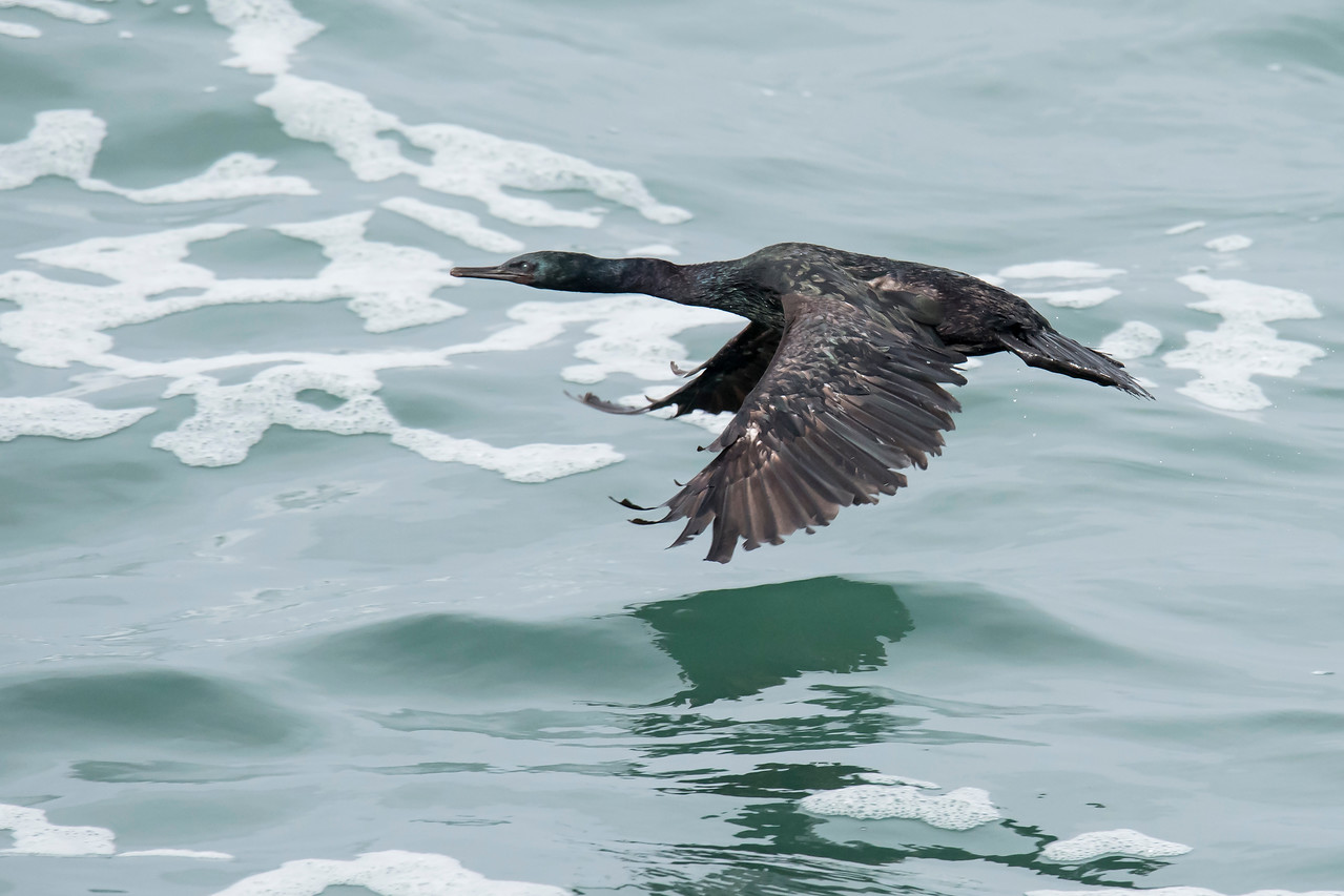 Here's a Pelagic Cormorant in flight.  The feathers on the front part of its wings are somewhat colorful but those on the back edge are strictly black and look rather shaggy.  This photo was taken in the same area as the previous photo.