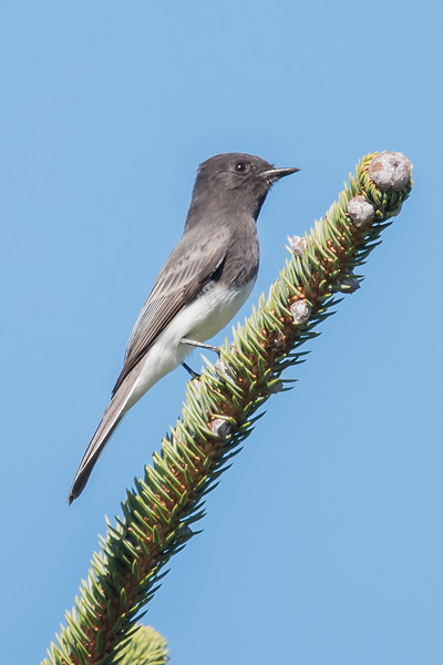 As we were watching a Gray Whale (see last week's posting) this Black Phoebe flew in and landed right near us.  This species is found in the southwestern United States and in Mexico.  I think southern Oregon is at the northern limit of this bird's range.