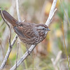 Song Sparrows are found throughout Minnesota in summer but in winter they move farther south.  This is a typical Song Sparrow found in the Pacific Northwest and it is darker than the ones we see in Minnesota.  This photo was taken near Table Rock in Bandon.