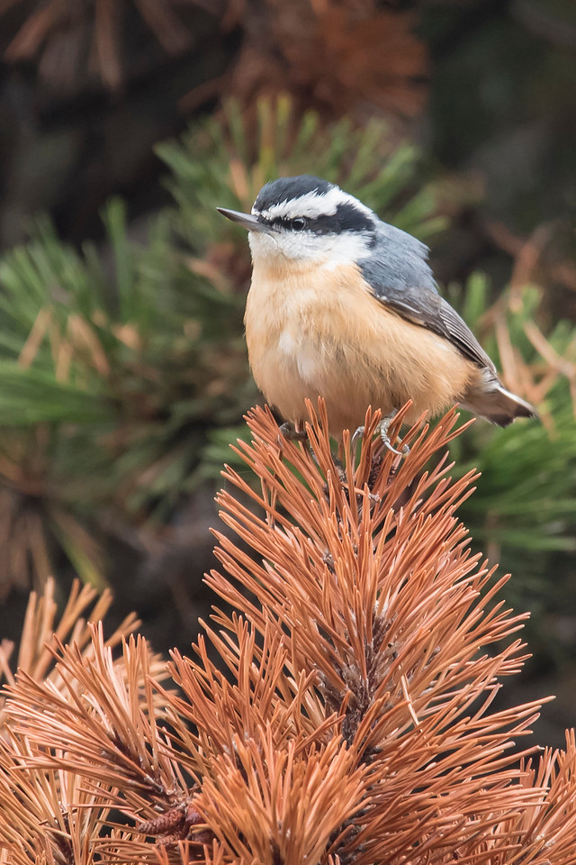 Red-breasted Nuthatches are year-round residents in Minnesota, especially in the north.  This one perched on top of a dead evergreen tree in China Creek Park, near Bandon, Oregon.