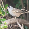 In Minnesota, we only see White-crowned Sparrows during their spring and fall migration trips.  They winter in the southern states and spend the summer in Canada.  Along the Oregon coast, they are year-round residents.  This photo was taken in the yard of the house we rented in Bandon.