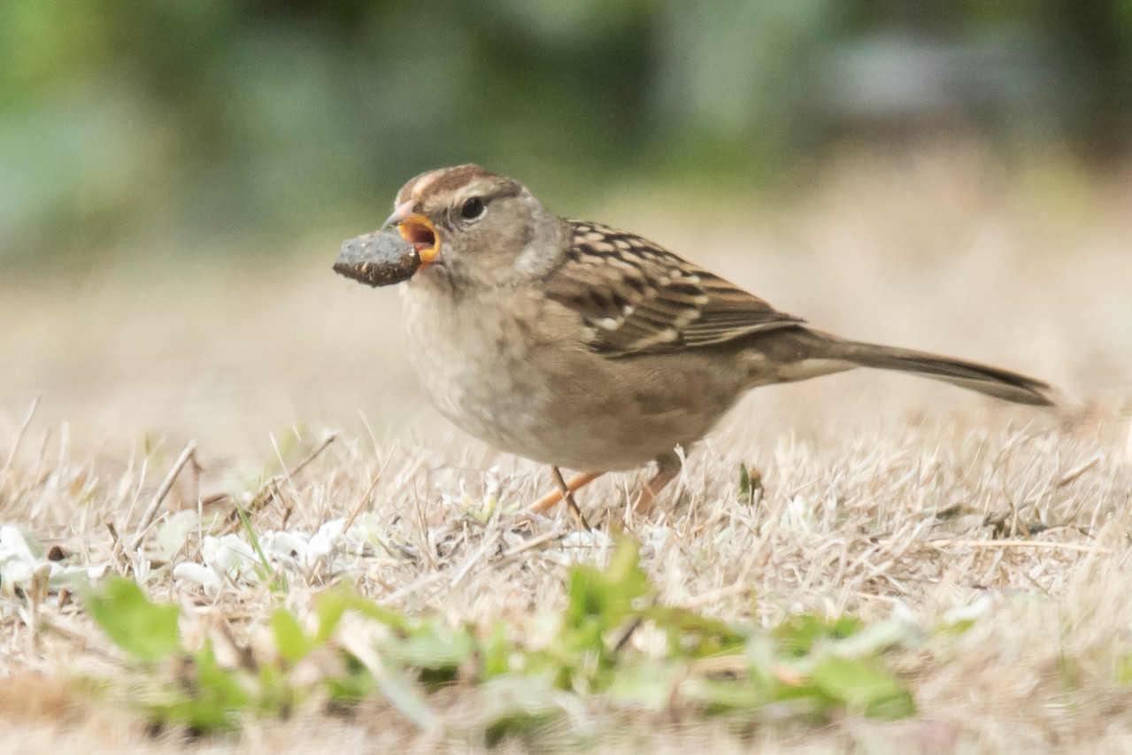 This juvenile White-crowned Sparrow was also foraging in the yard of the house we rented, and it found something of interest.