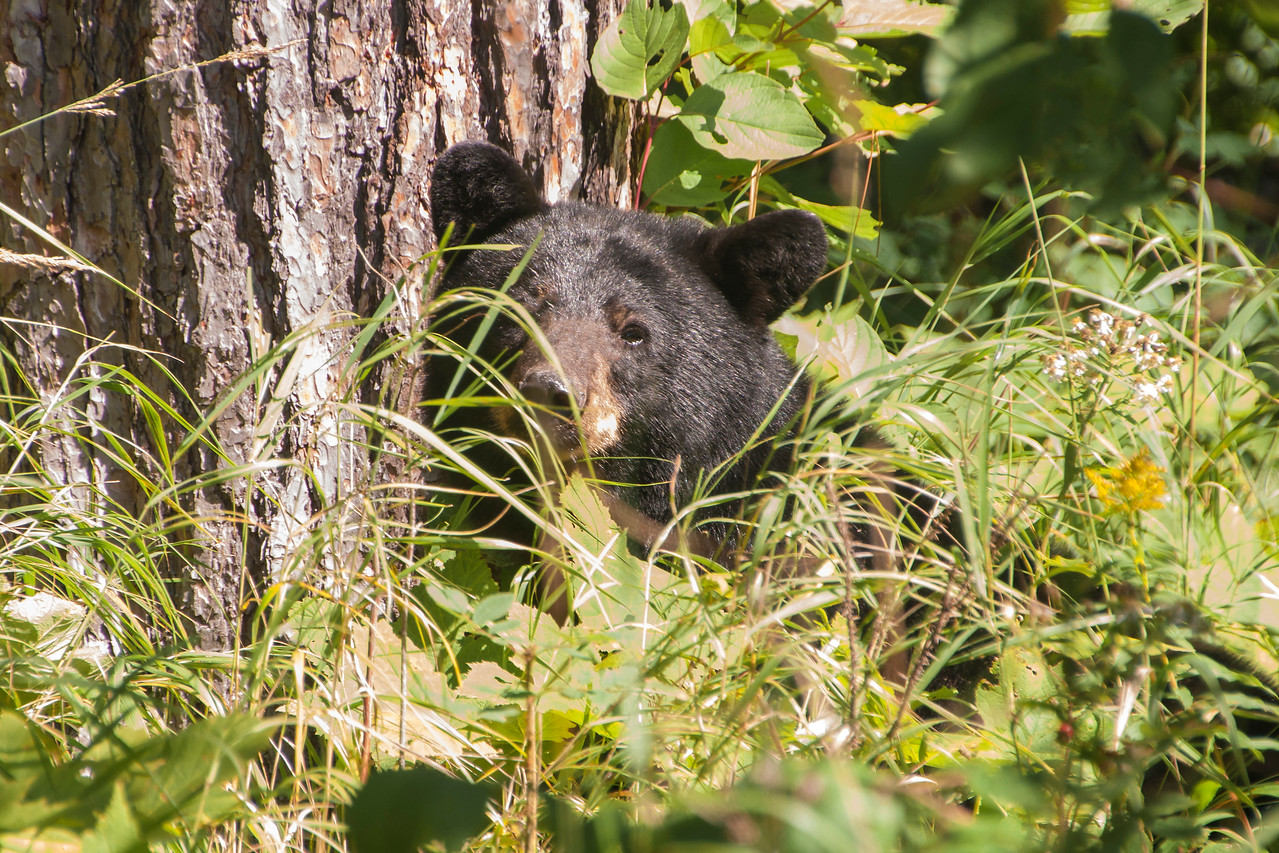 I was exploring the grounds of the resort and walked up a path to look at an apple tree.  As I turned the corner, I came face-to-face with this Black Bear.  I think both of us were startled, so I just backed off and walked away.  Of course, I took a photo first.