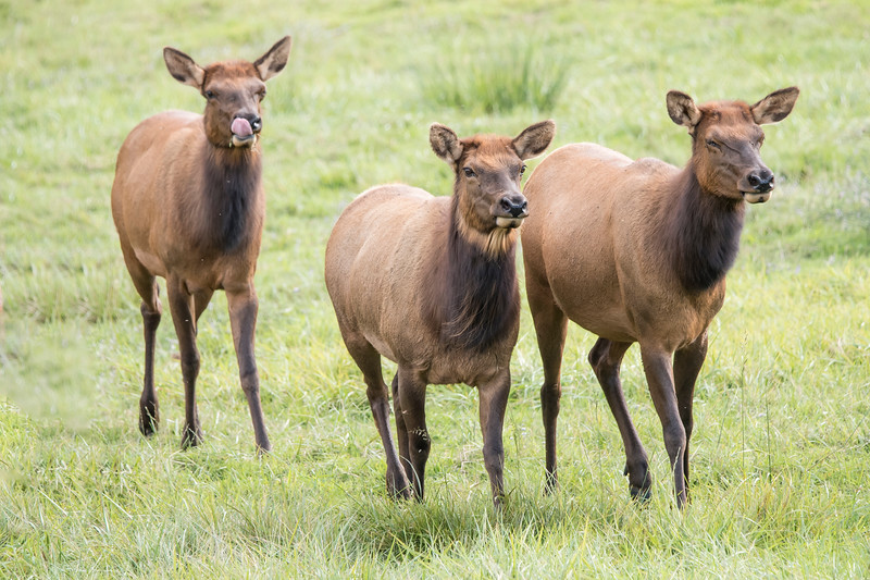 Here are three of the elk walking toward me.  I like the one that is licking its nose!