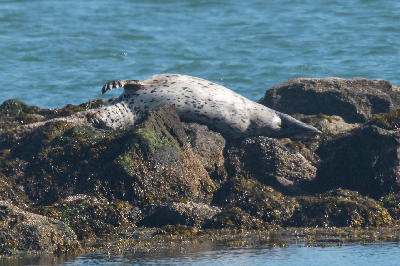 We had even better looks at Harbors Seals in Bandon.  This one is taking a nap on a rock.  How comfortable can that be?