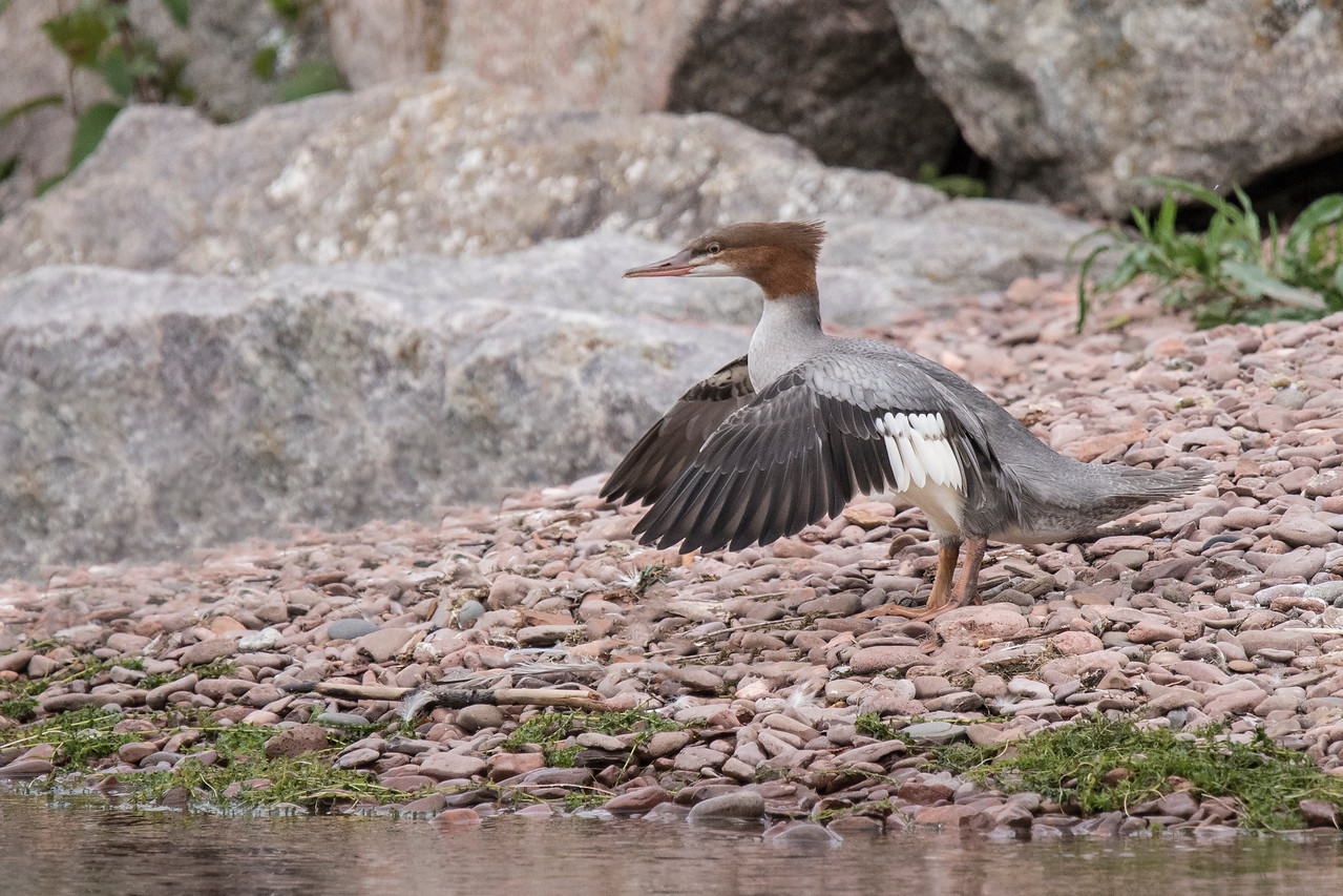 I saw this female Common Merganser in Grand Marais.  When I first saw her, she was resting on these rocks along the harbor.  As I watched, she got up and started flapping her wings.  I was ready and took a whole series of photos; this was my favorite.