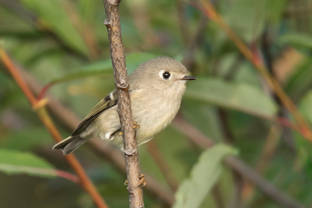 I always like to check out Taconite Harbor when I'm visiting the North Shore.  That's where I photographed this Ruby-crowned Kinglet.  It's a tiny bird, only 4¼ inches long, and very active.  It rarely sits still so getting a good photo of one of these kinglets is difficult.