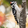 Here's a Downy Woodpecker that I saw on Park Hill Road.  The red spot on the head tells you this is a male.