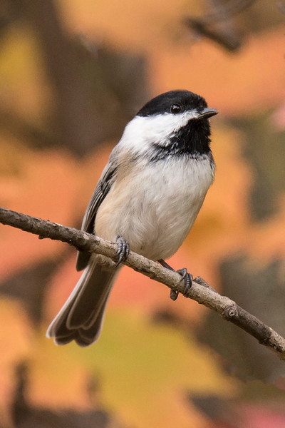 I did take some bird photos when Diana and I visited the North Shore.  I saw this Black-capped Chickadee along Park Hill Road, a short gravel road in Lake County.  The colorful fall leaves made a nice background.