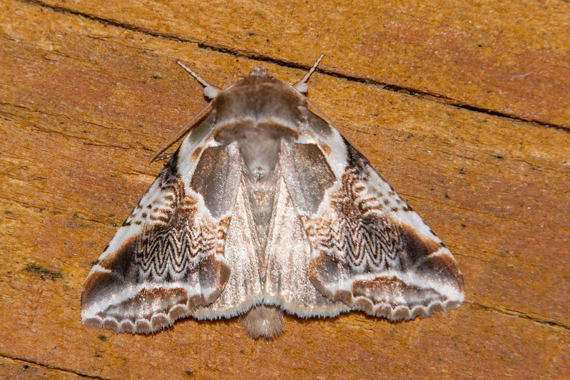 I like the intricate patterns on the Lettered Habrosyne moth.