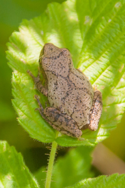 The X on the back of this small frog identifies it as a Spring Peeper.